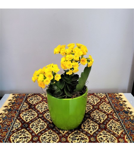 Potted Yellow Kalanchoe