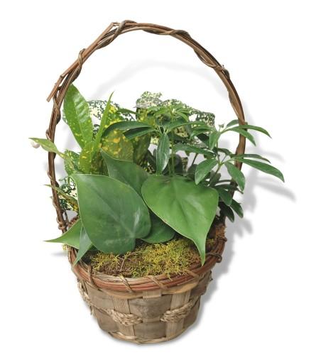 6 Inch Basket Dishgarden