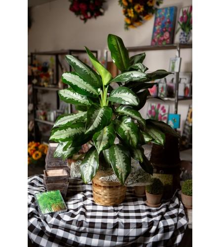 Aglaonema Plant by VBS