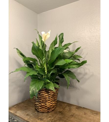 "Peaceful Spath Plant 8"""