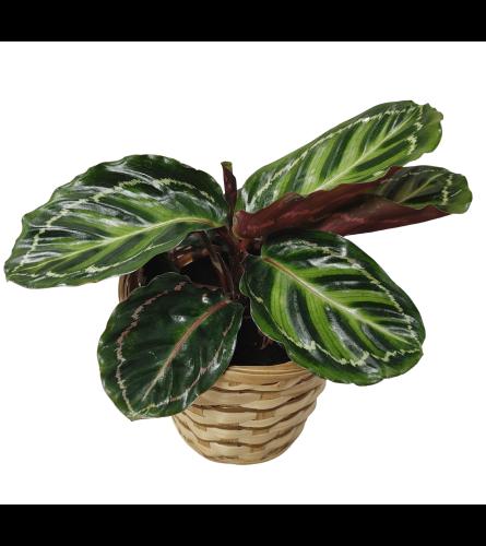 Prayer Plant In a Basket
