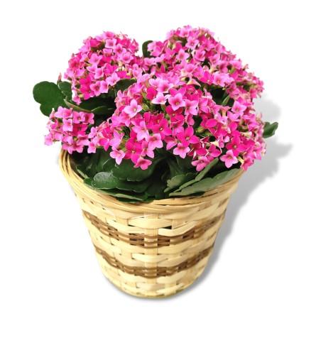 Kalanchoe In a Basket