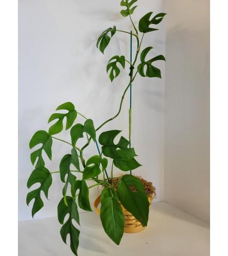 Monstera Plant in basket
