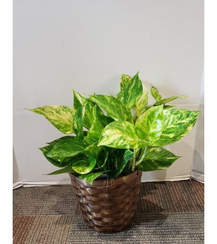 Pothos Philodendron