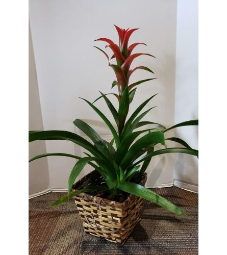 Bromeliad, Tropical Plant