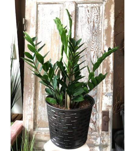 """Zamioculcas zamiifolia """"ZZ Plant"""" in Olive Bucket Planter"""