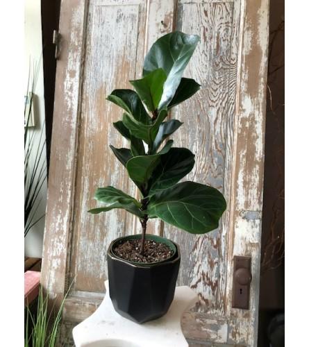 Tabletop Fiddle Leaf Fig