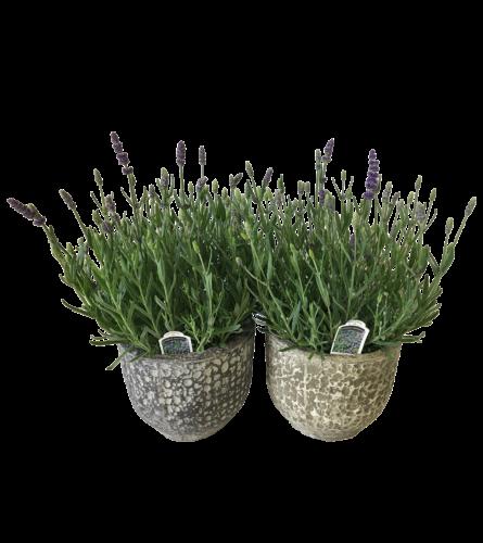 lavender plant in stone pot