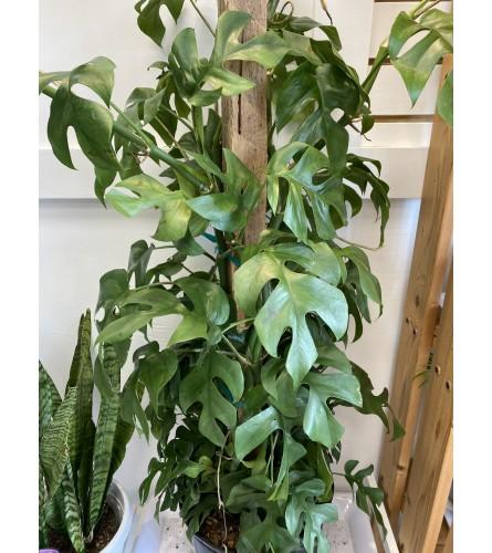 """10"""" split leaf philodendron"""