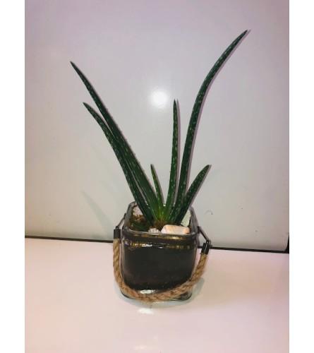 Aloe Plant Delight