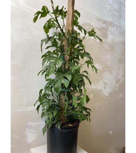 """Split Leaf Philodendron 10"""" pot"""