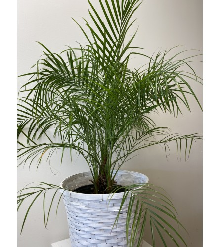 "Indoor Roebelenii Palm tree 10"""