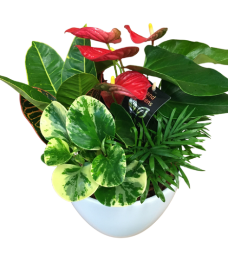Anthurium Planter with Mixed Tropicals
