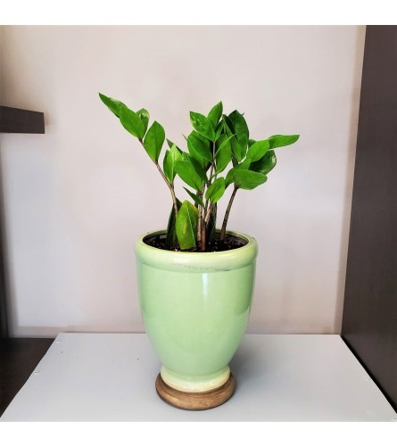 ZZ Plant - Green Mint Ceramic Pot