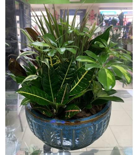 Dish Plants with Ceramic Pot