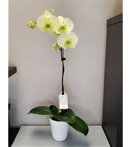 Lime Green Potted Orchid