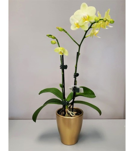 Mini Lime Green Potted Orchid