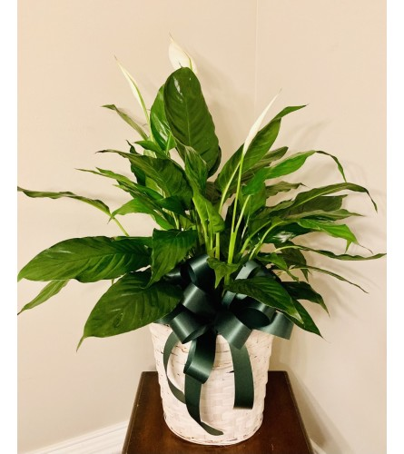 Peace Lily For You