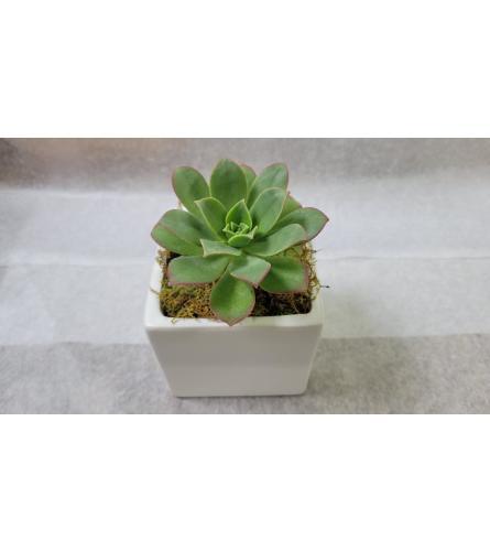 Large Succulent plant in Ceramic cube