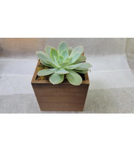 Large Succulent in a brown Cube