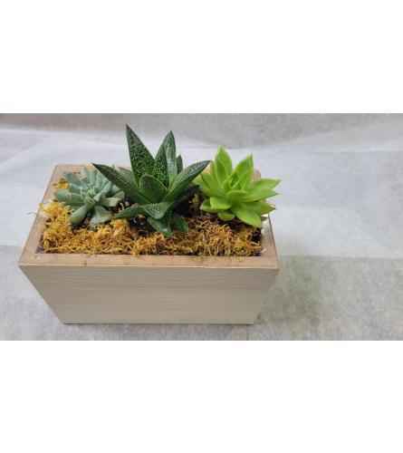 Trio Succulent collection