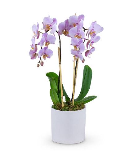 Phalaenopsis Orchid Beauty