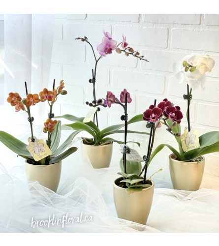Potted Mini Orchid (1)