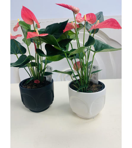 Modern Anthurium Plant in Face Pot