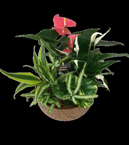 Mixed Anthurium Tuscan Planter XL
