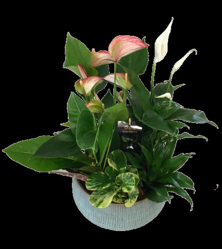 Mixed Anthurium Ryan Planter XL
