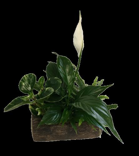 Primitive Peace Lily Log Planter