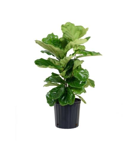 "12"" Ficus Lyrata Plant"