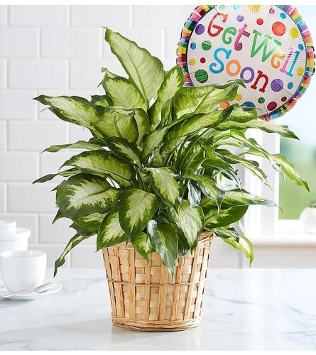 Dieffenbachia Green Plant with Get Well Balloon