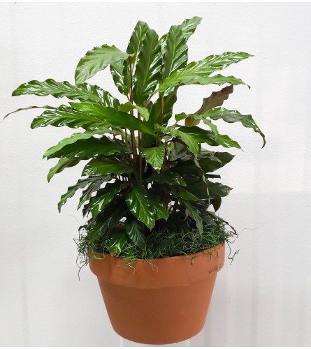 "6"" Calathea Plant in Decorative Pot"