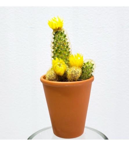 "3"" Blooming Cactus-Yellow"