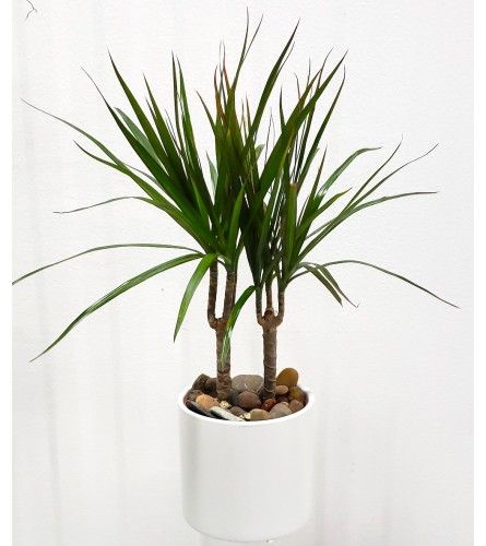 "6"" Palm Dracaena in Decorative Pot"