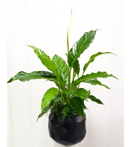 "4"" Peace Lily in Decorative Pot"