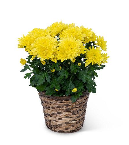 Yellow Chrysanthemum Potted Plant