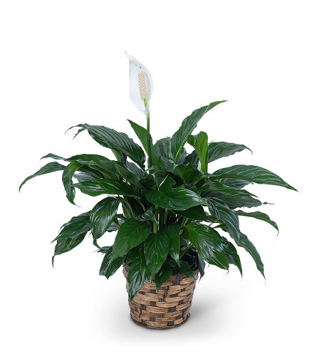 Peace Lily Potted Plant in Basket