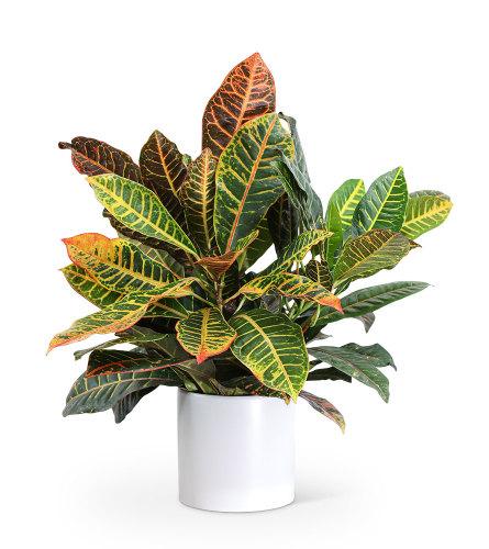 Croton Petra Potted Plant