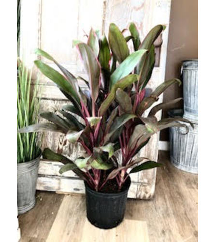 "Ti Leaf Plant (10"" pot)"