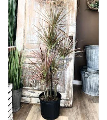 "Draceana Tree (10"" Pot)"
