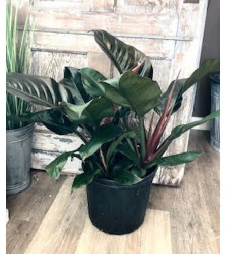 "Philodendron Plant (10"" Pot)"
