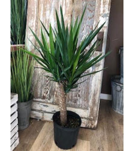 "Yucca Plant (10"" pot)"