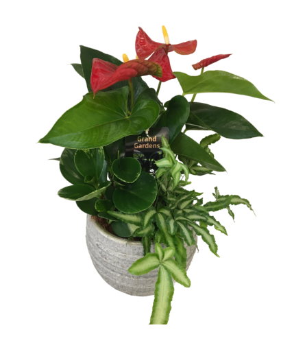 Medium Anthurium Jake Planter