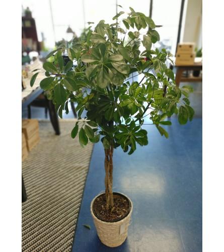 "8"" Braided Arboricola Tree In Basket"