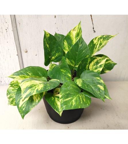 """6"""" Golden Pothos Plant"""