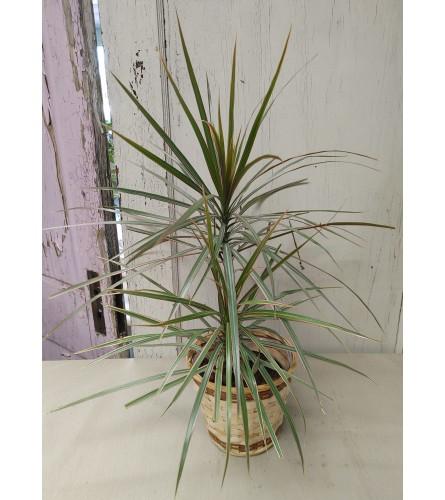 "6"" Dracaena Marginata Plant"