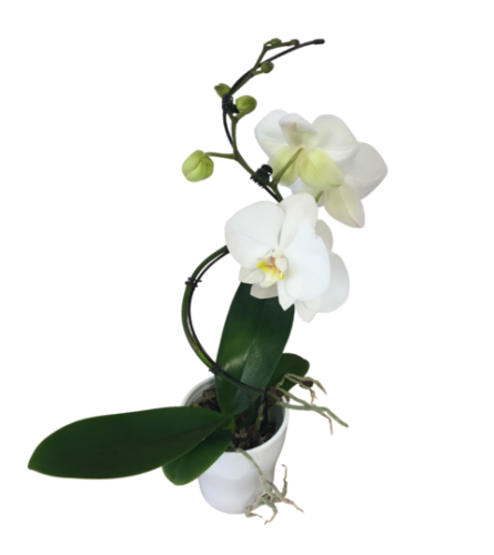 5inch Hurricane Orchid