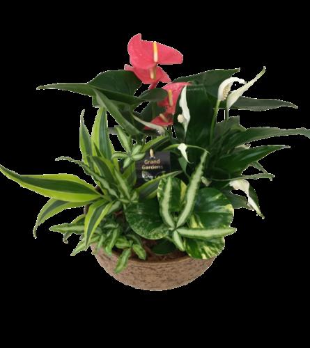 XL Mixed Anthurium Tuscan Planter